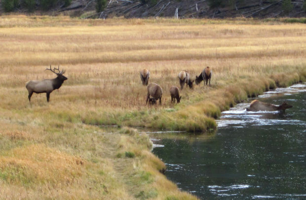 Elk migrating out of northern Yellowstone