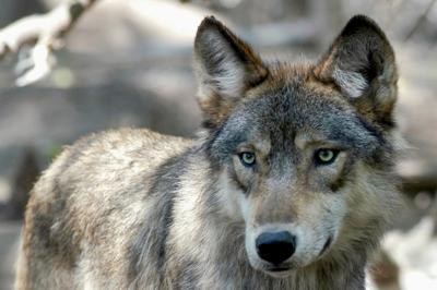 Election 2020 Colorado Wolves