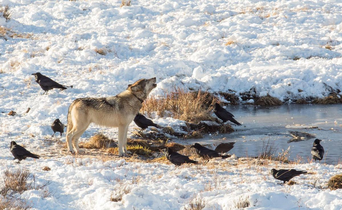 Wolves at Blacktail Pond
