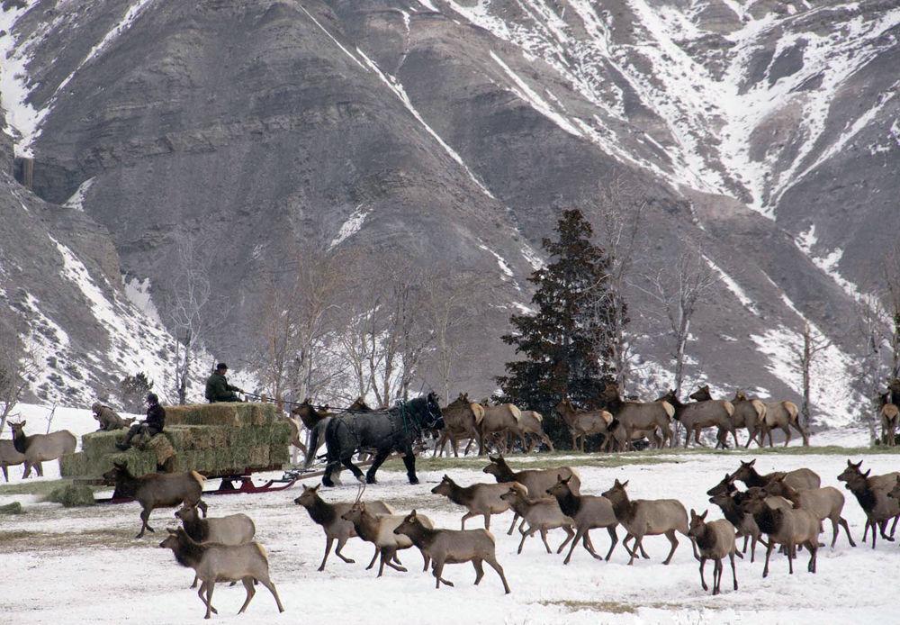 Elk (copy)