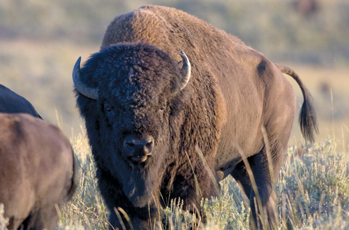 Rutting bull bison