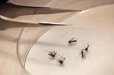 West Nile Mosquitoes