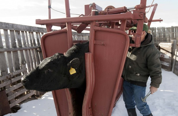 Wyoming officials, ranchers combat growing livestock
