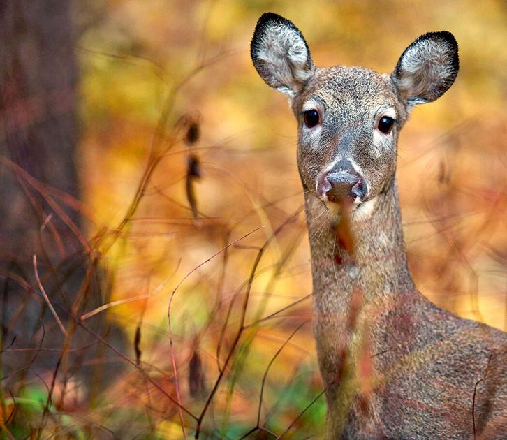 Outdoors   Game Commission looks to expand concurrent deer ...