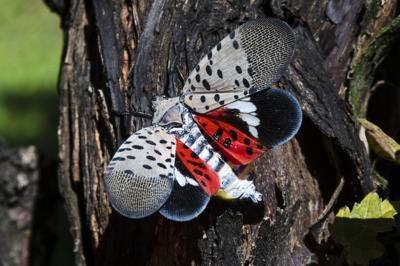 Invasion of the Lanternflies