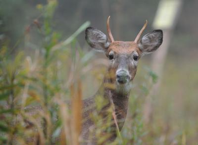 Pennsylvania Game Commission recommends deer feeding ban