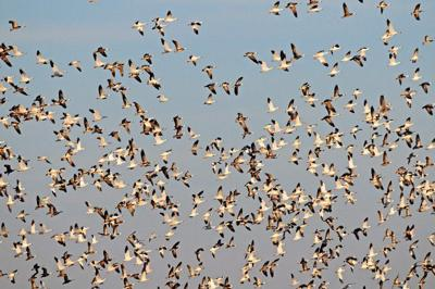 Sights, sounds of snow geese in countryside strange and amazing