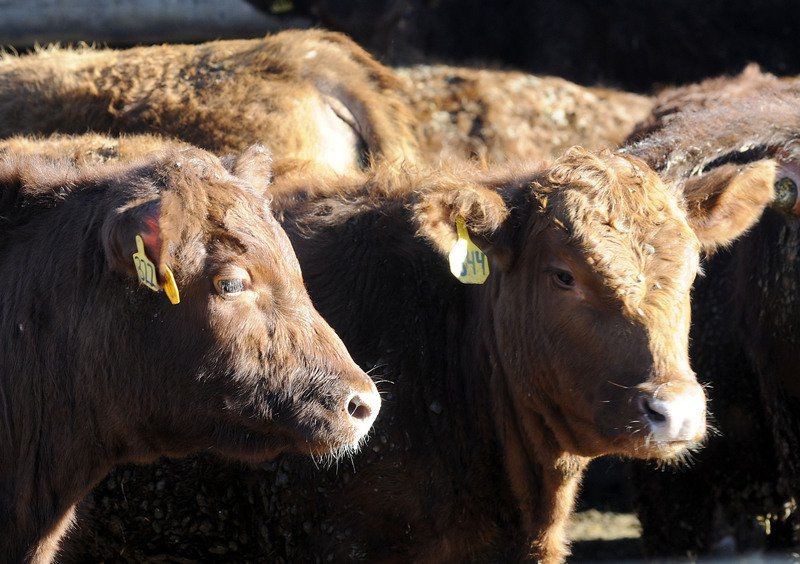 Antibiotic use in farm animals drops radically first year after regulation