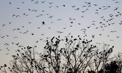 MARK BENNETT: What are the crows talking about? Researchers are listening in