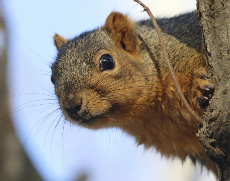 Mike Lunsford Our Squirrels Have Gone A Little Nuts This Winter News Columns Tribstar Com