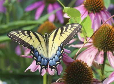 Wet spring brings swallowtail summer