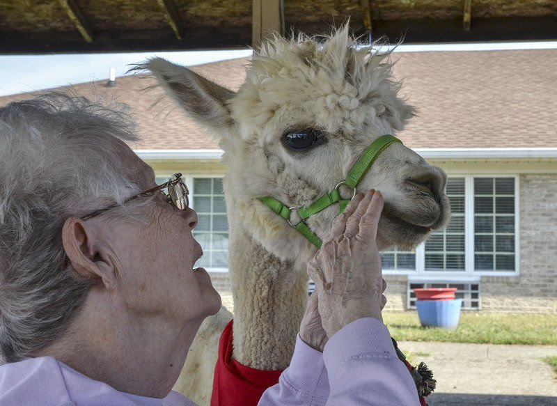 Making their day: Vigo County 4-H club visits Signature HealthCARE residents with alpacas, llamas in tow