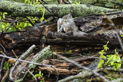 Squirrel rescues youngster from downed tree | Indiana News