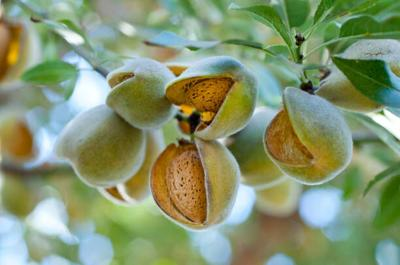 Almond prices too low to sell