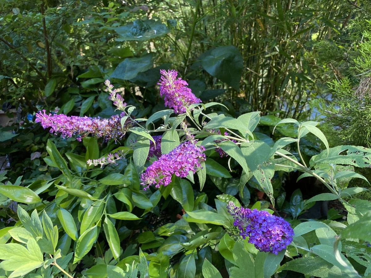 This dwarf butterfly bush called Buzz Hot Raspberry attracts butterflies and smells delicious.