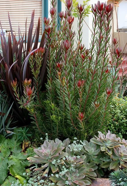 This combination of Safari Sunset leacadendron, Guardsman phormium and succulents have low water needs.