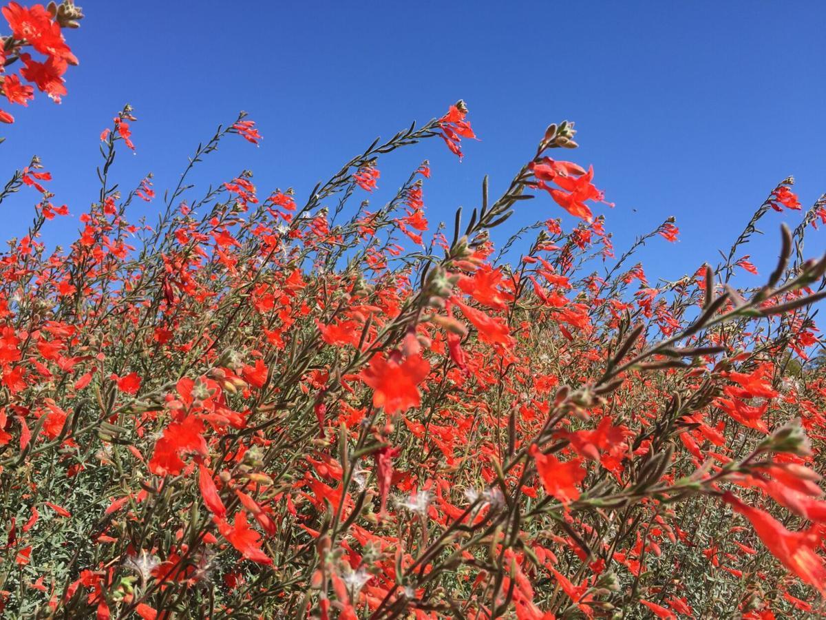 California fuchsia tolerates heavy, clay soil.