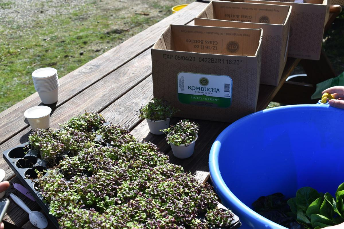 Students begin to assemble produce boxes, with microgreens, cabbage, and yew flowers.