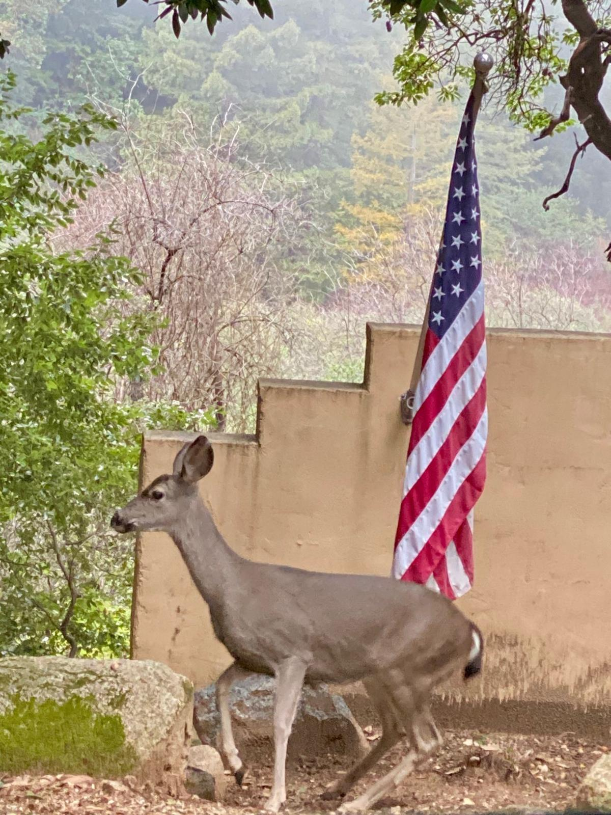 A local black-tailed deer celebrating Fourth of July