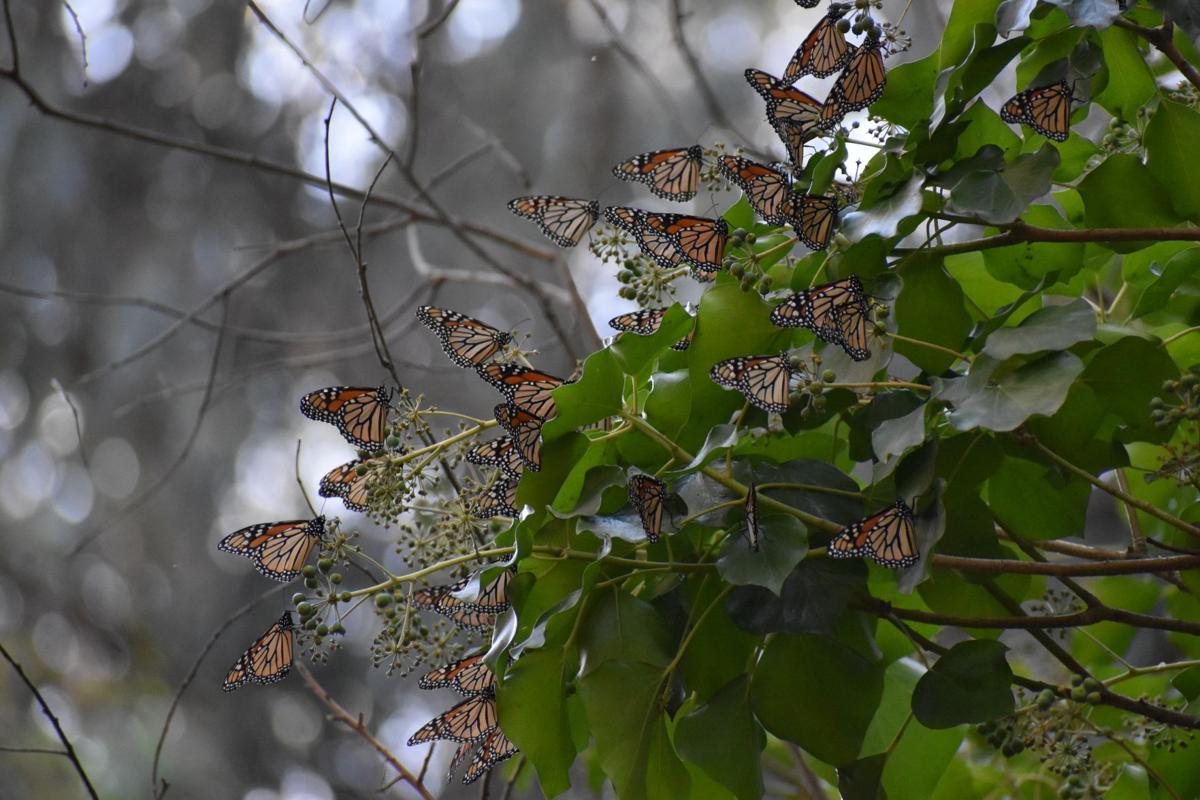 Monarchs at Natural Bridges