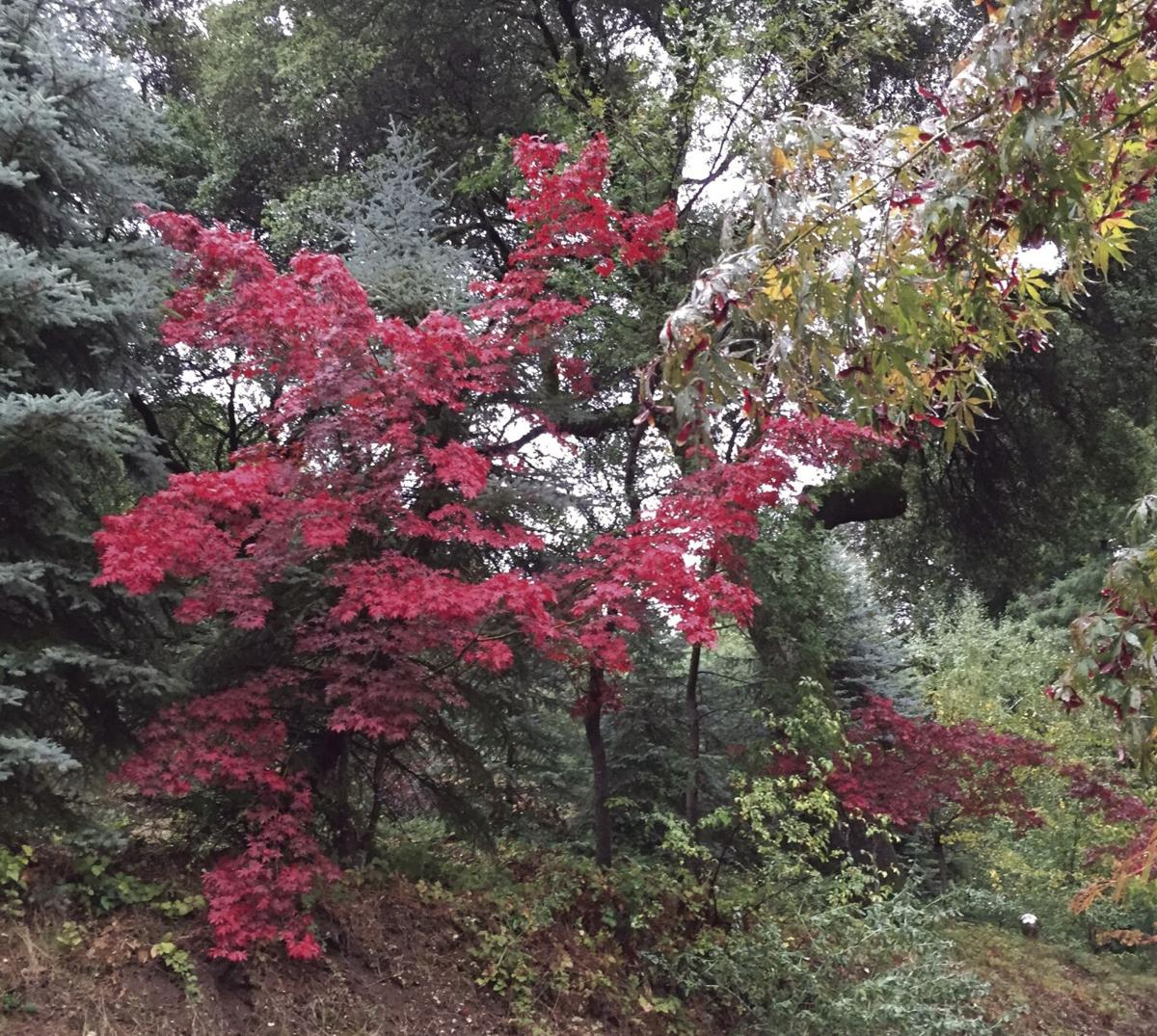 SIGN OF THE TIMES An acer palmatum Japanese maple displaying brilliant fall color. — contributed