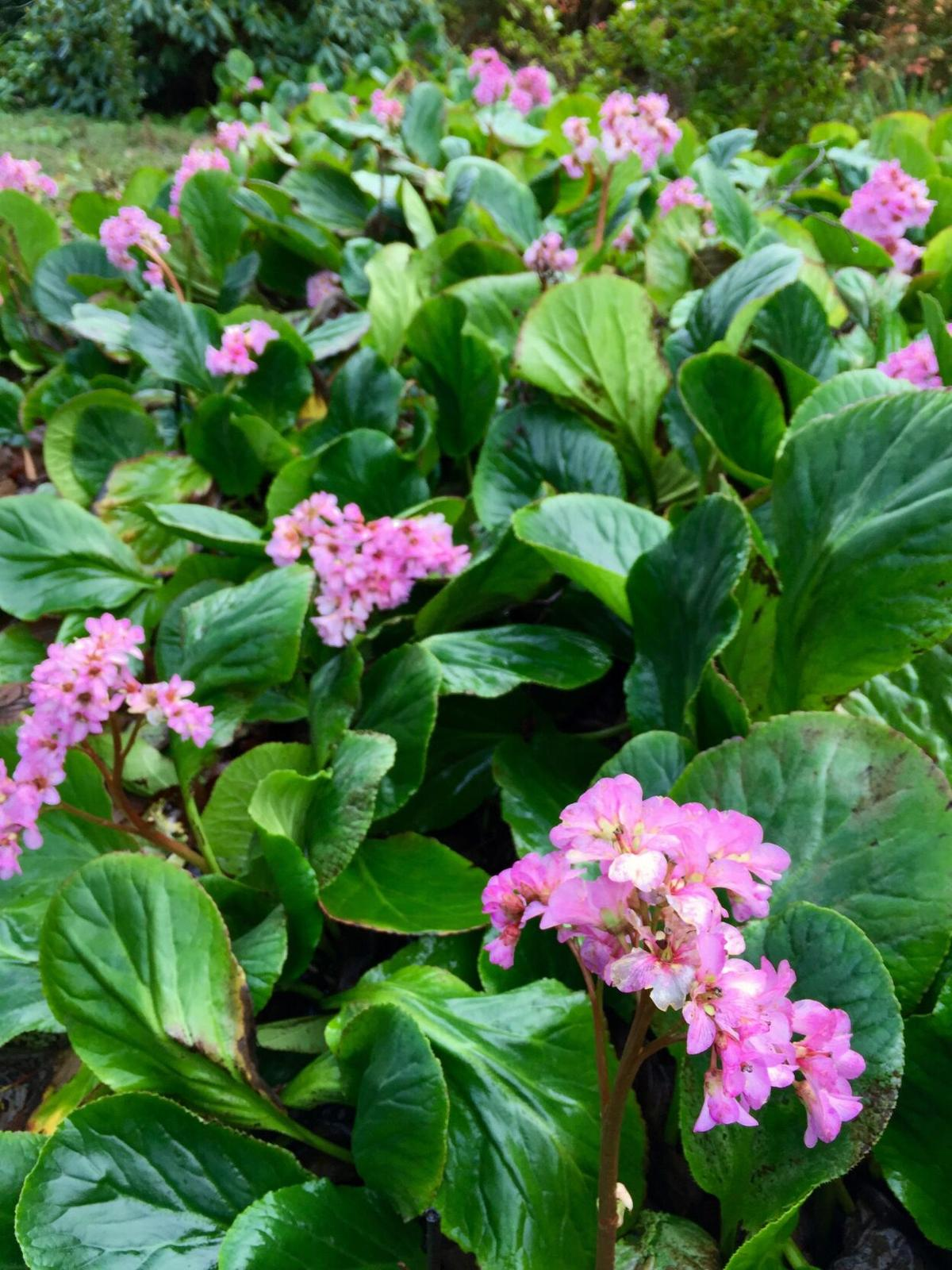 Bergenia is a useful groundcover for difficult soil.