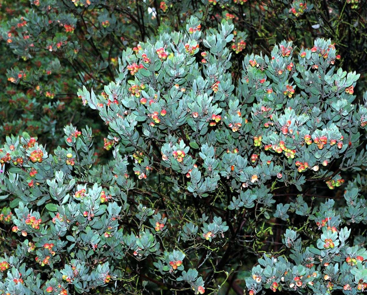 Found in the sand hills of Bonny Doon, Quail Hollow and Scotts Valley silver leaf manzanita is perfectly adapted to its growing condition.
