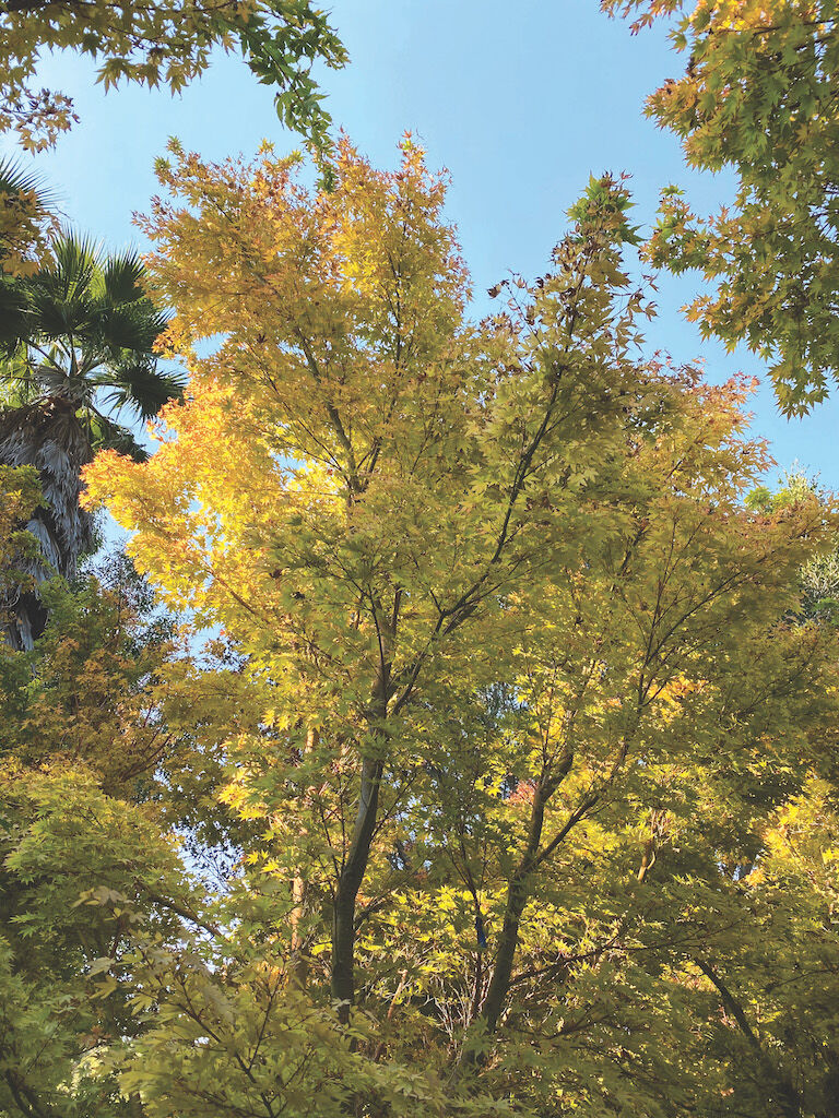 CLASSIC LOOK A fine example of a large mature coral bark maple. — contributed
