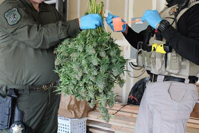 Illegal marijuana grow operations dismantled