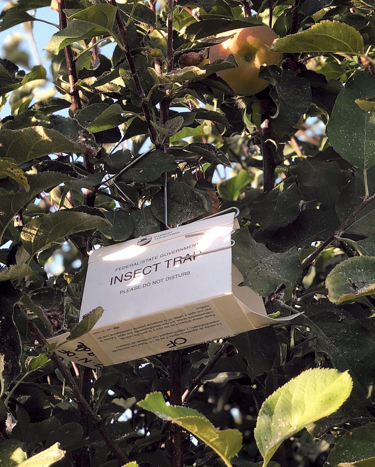 Oriental fruit flies found in Tracy