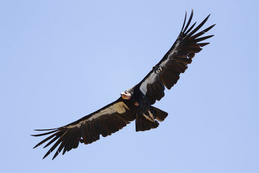 Condor group wants to get more hunters to avoid lead bullets