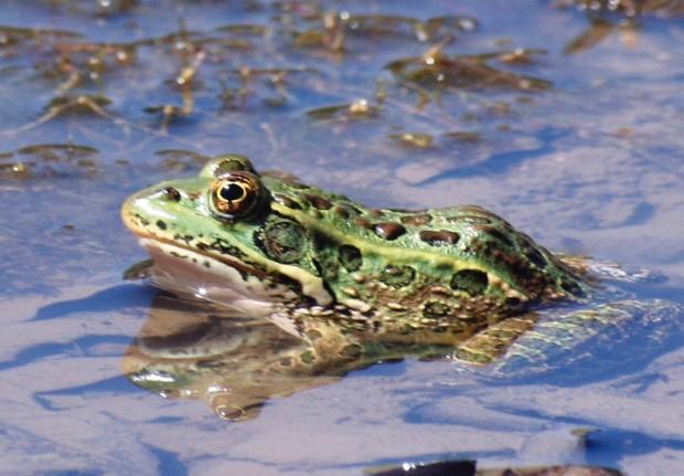 10K acres set aside for threatened frog