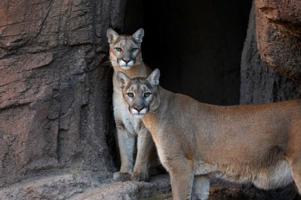 Museum retiring two aging cougars