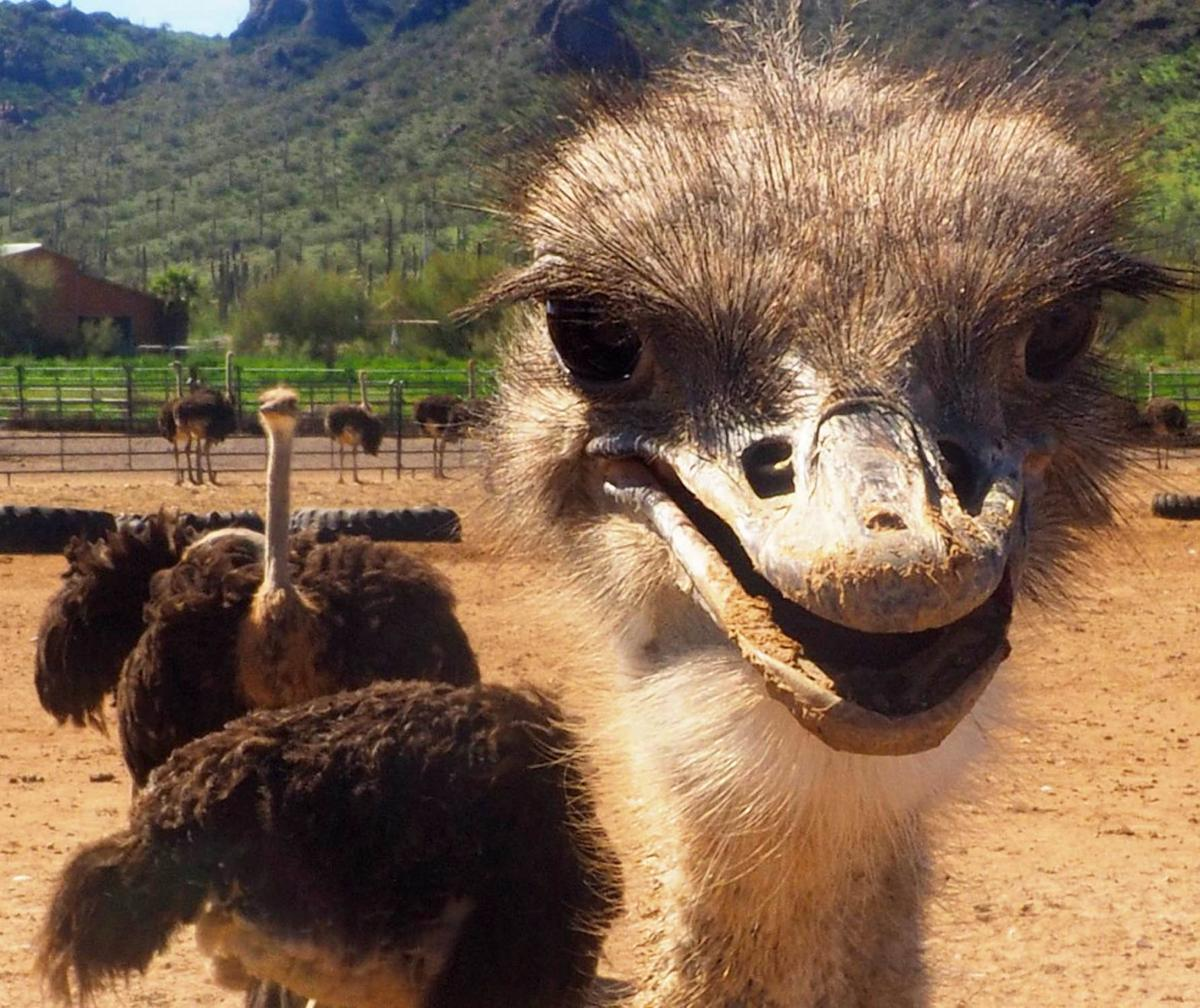 Tom-Frost-s-Ostriches.jpg