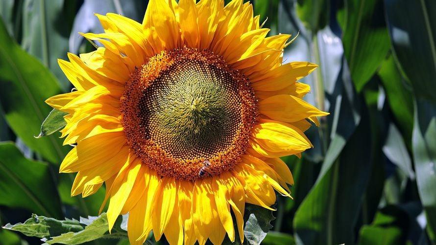One Seed Pima County: Saving Sunflower Seeds