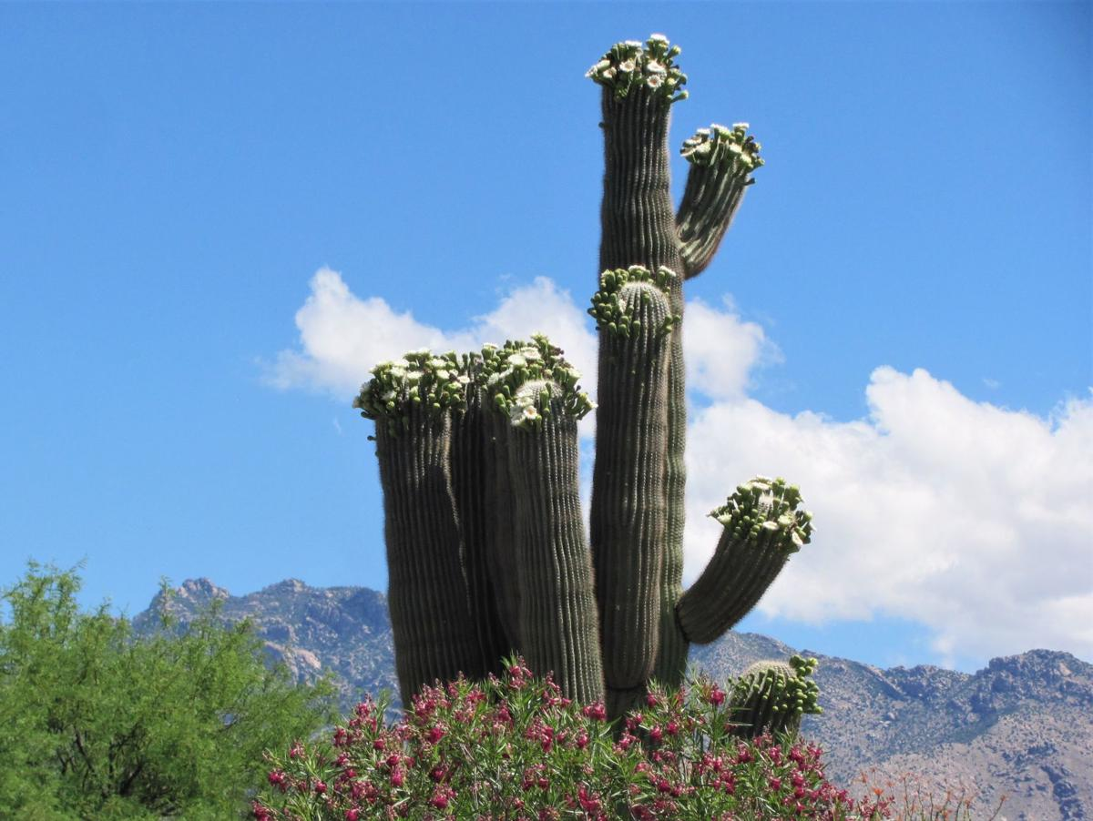 Saguaro splendor