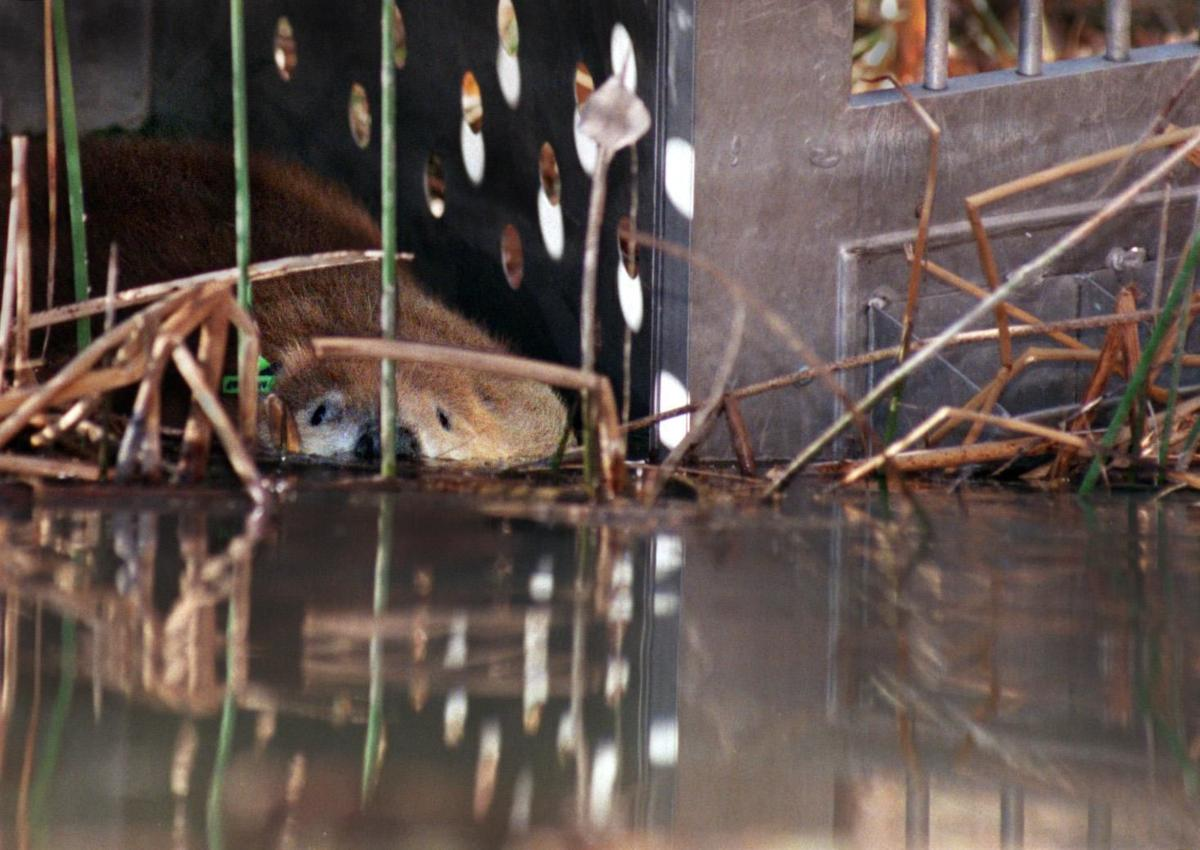 Beaver reintroduction