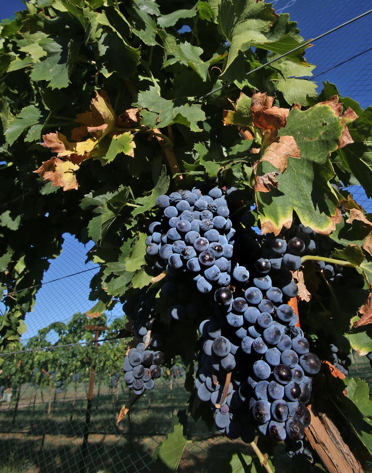 e89c1787881 Harvest time varies in Southern Arizona's wine country | Latest ...