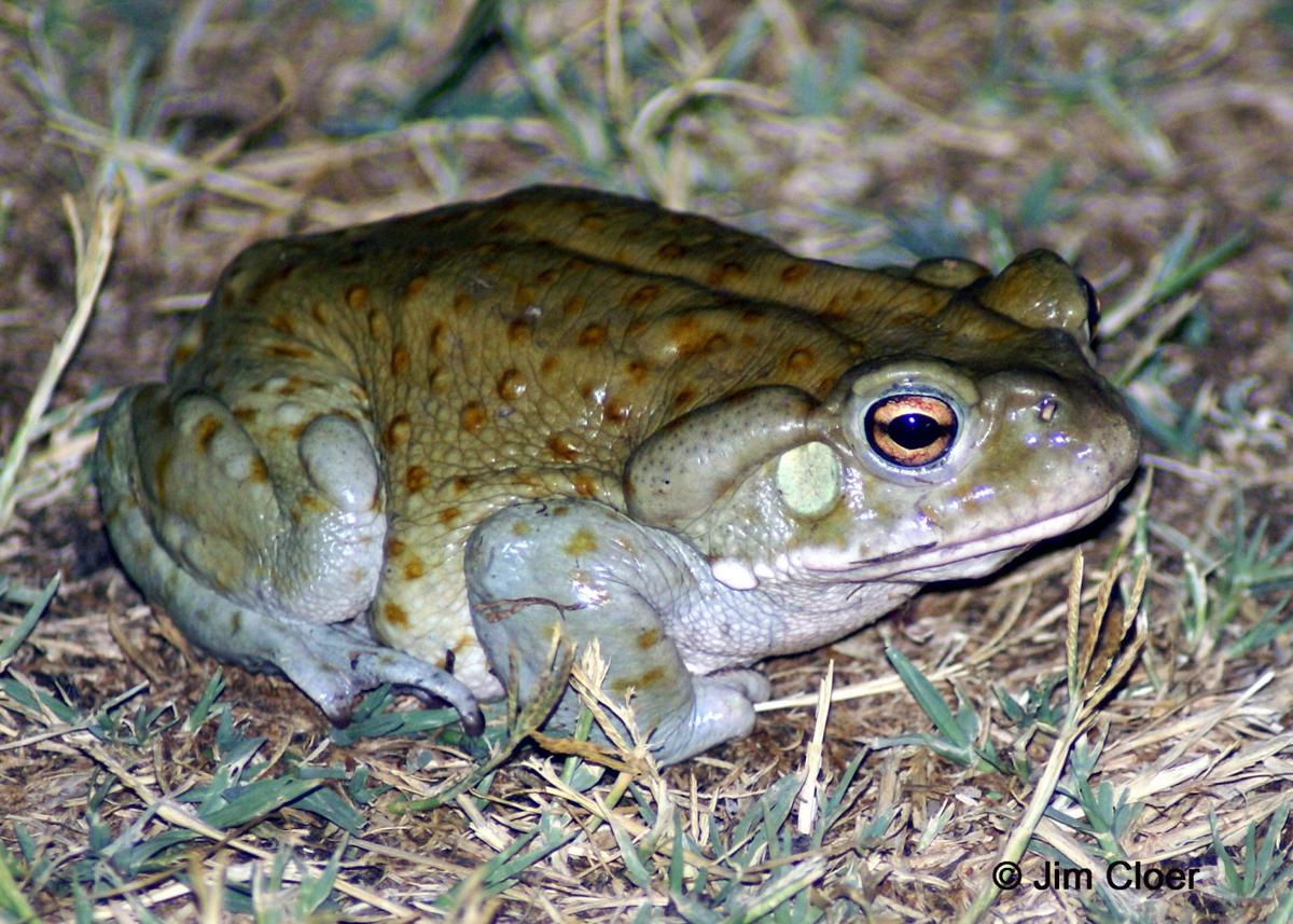 Sonoran-Desert-Toad.JPG