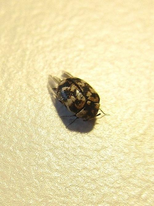 Beware Of Carpet Beetles