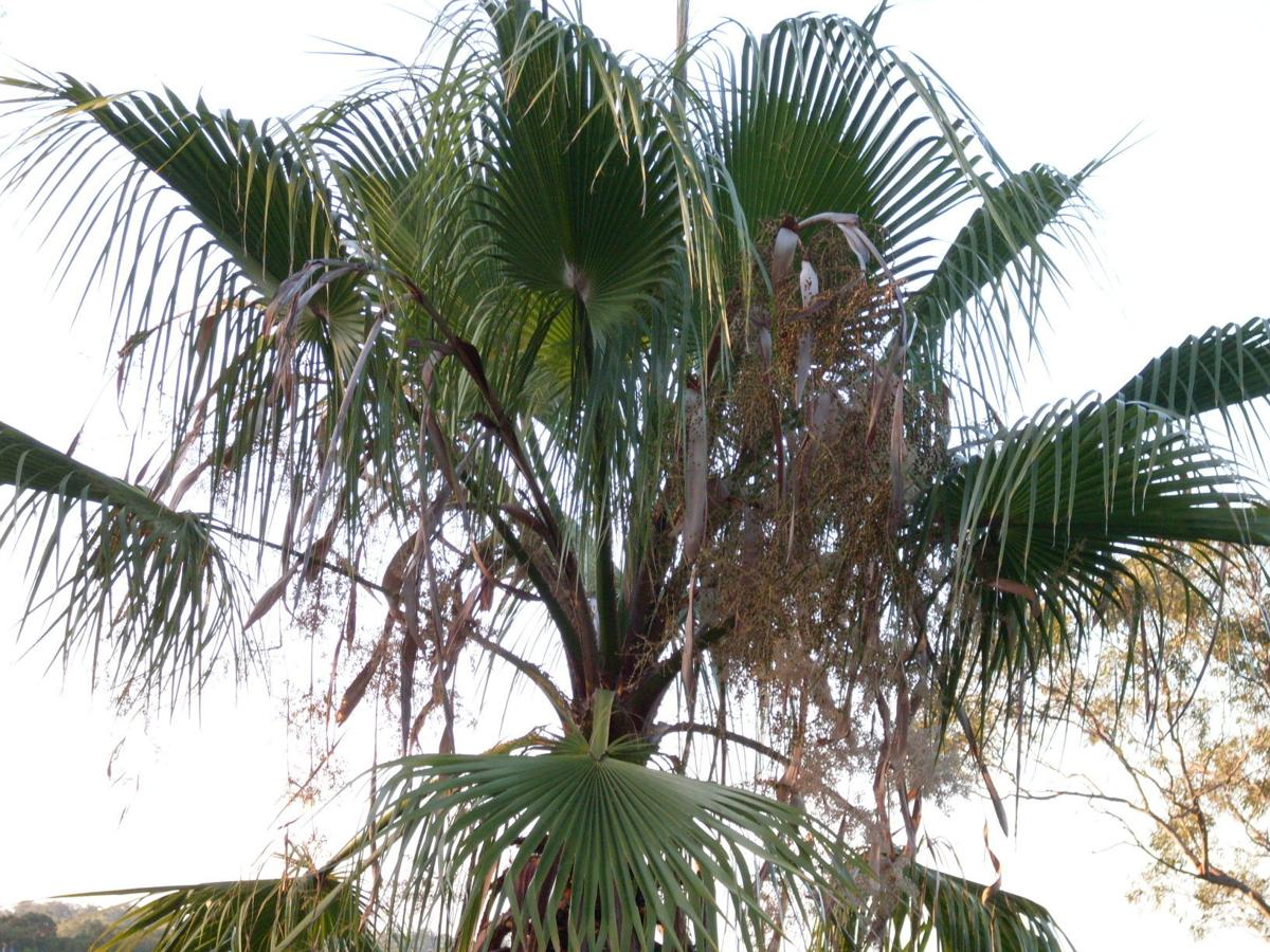 Dead leaves protect palm, attract birds, bugs