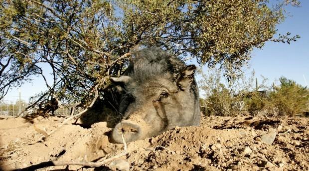 Photo Gallery Ironwood Pig Sanctuary Pets Amp Animals