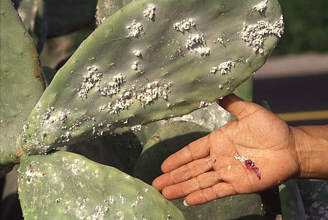 Cochineal-scale insects not likely to do major damage
