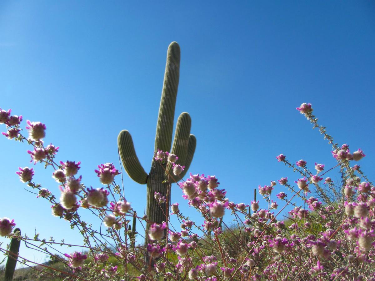 Wildflowers along Catalina Highway