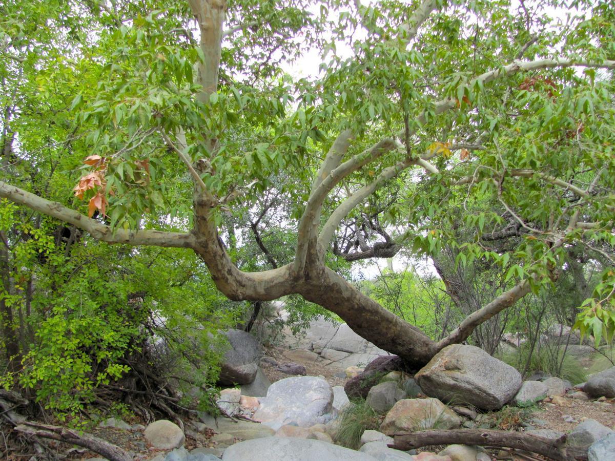 Madera Canyon tree