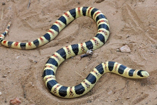 Threatened snake low on list for protection
