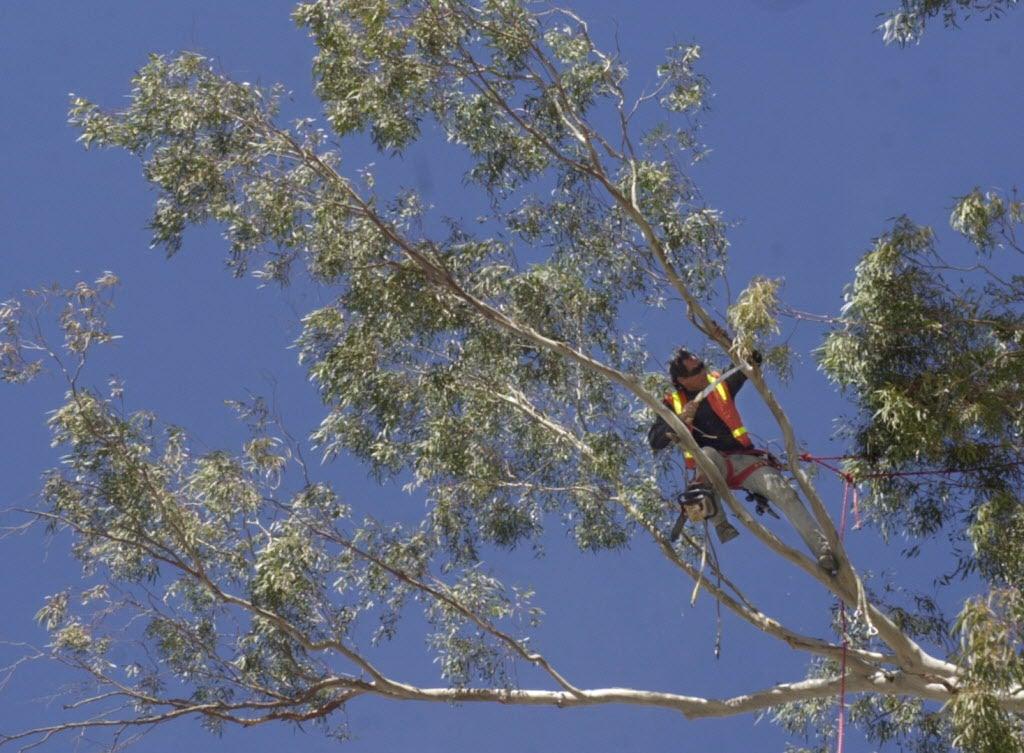 Caterpillar Threat; A Great Apricot For Tucson; Eucalyptus
