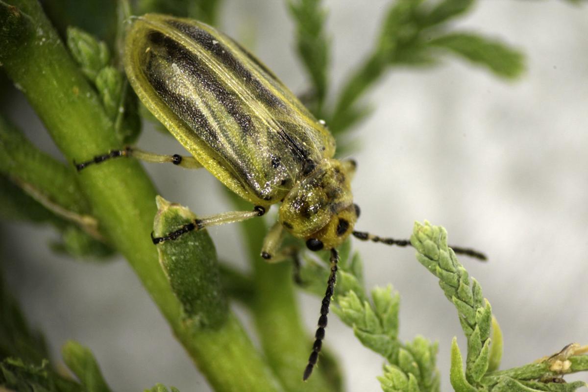 Invasive Tree Beetles