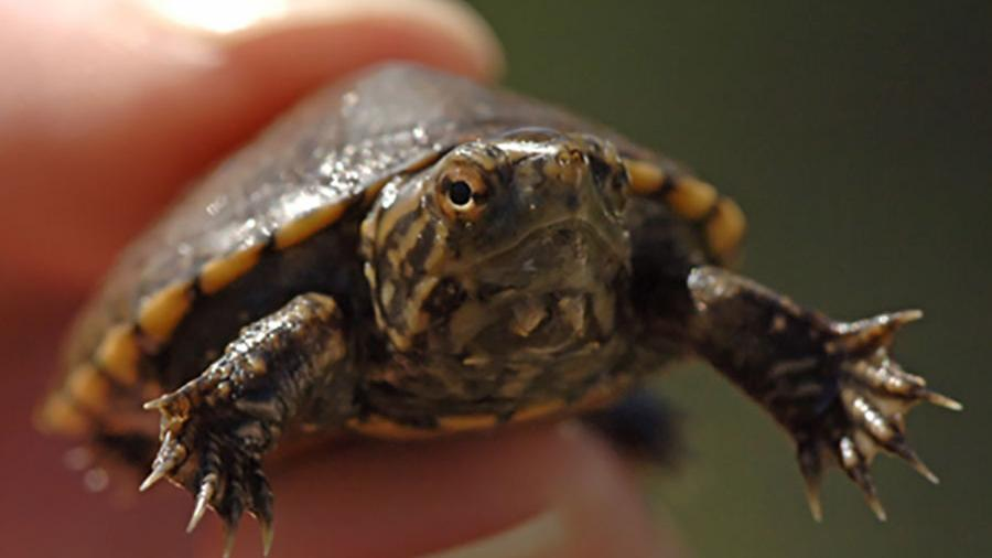 With as few as 100 left, Southern Arizona turtle wins endangered species status