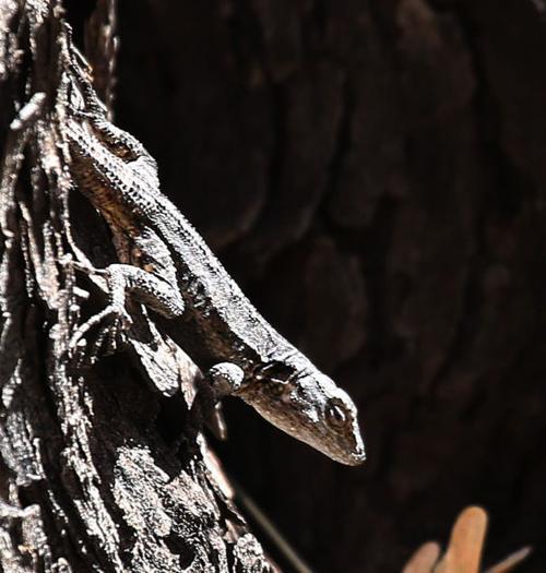 The Sonoran Desert Stick Lizard